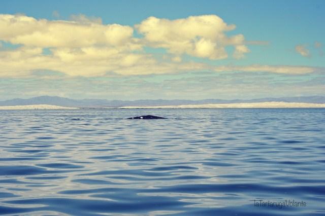 balene della baja california laguna con balene grigie