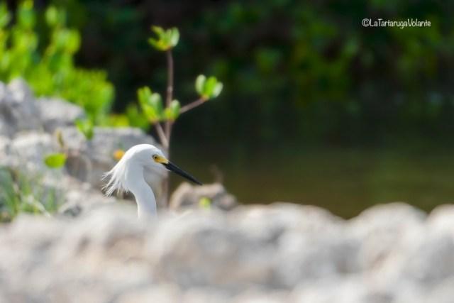 Florida Garzetta bianca