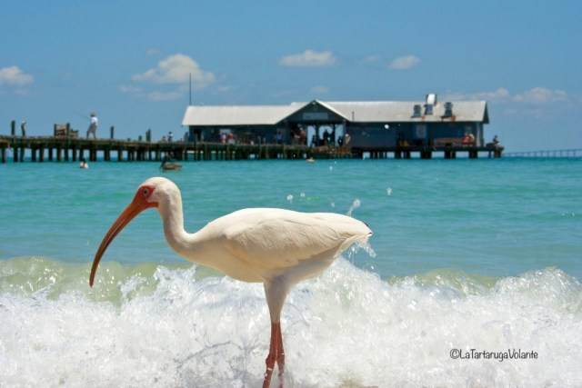Florida, Ibis bianco americano