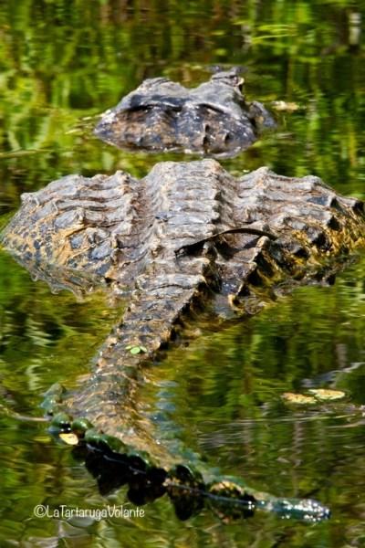 Florida alligatore che se ne va