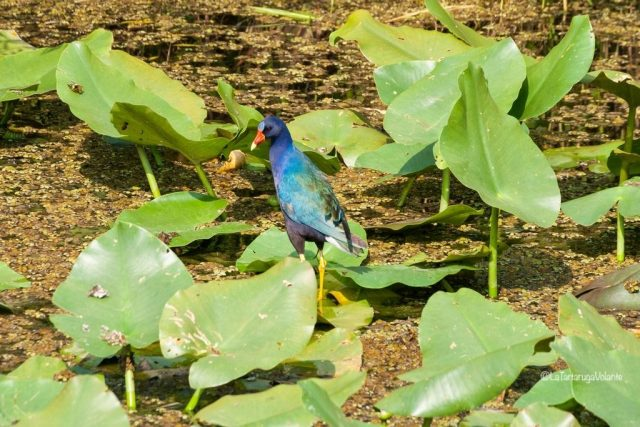 Florida fauna alle Everglades