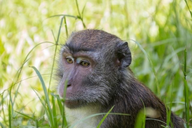 Borneo, Bako NP scimmie