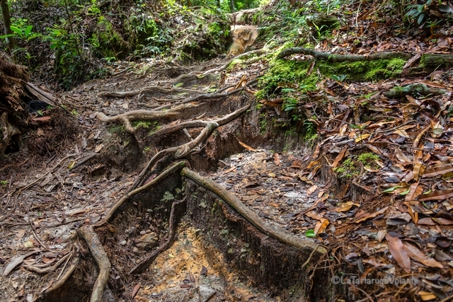 Borneo, Bako NP sentiero fra radici