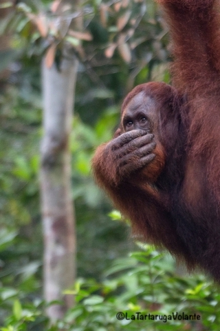 Borneo, Orango educato