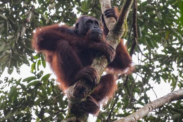 Borneo, Orango in attesa