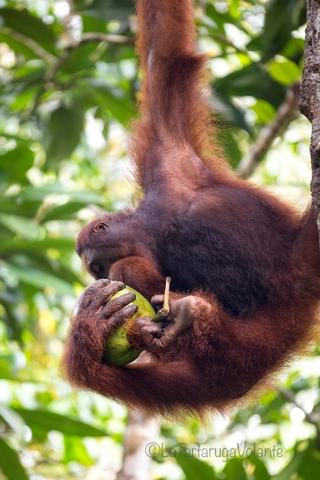 Borneo, coccole di orango