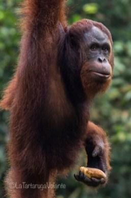 Borneo, orango con la banana