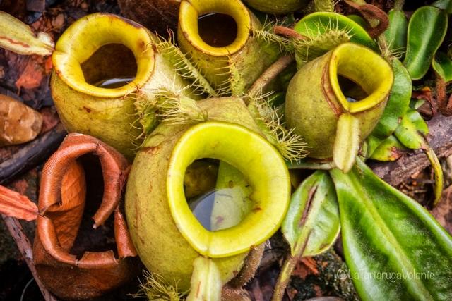 Borneo, strane piante carnivore