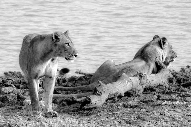 Fotografia, leoni a riposo