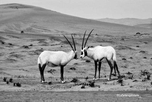 Fotografia, orici nel deserto