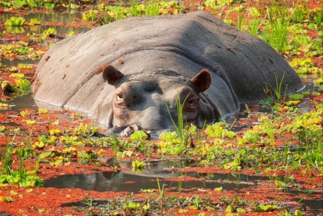 Malawi, ippopotamo