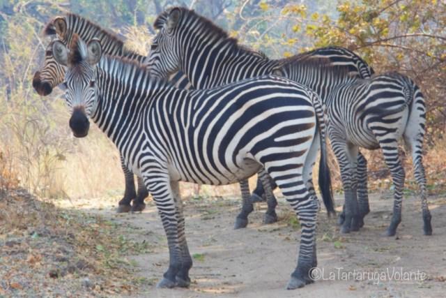 Malawi, zebre a passeggio