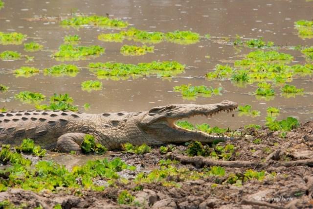 Zambia, coccodrillo