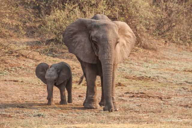 Zambia, elefante e piccolino