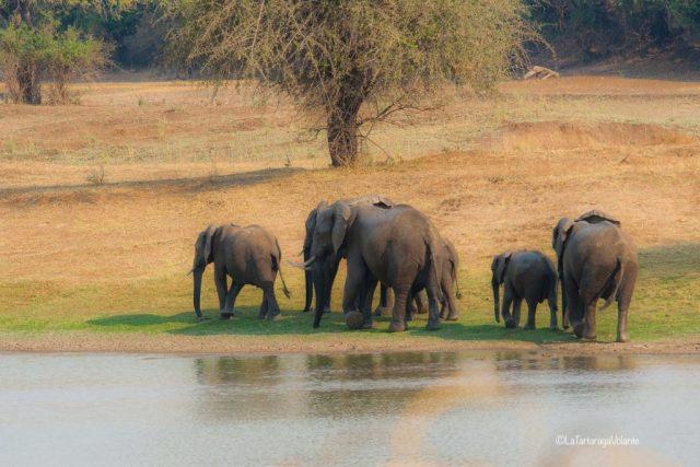 Zambia, elefanti
