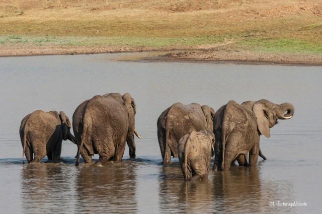 Malawi, elefanti al bagno