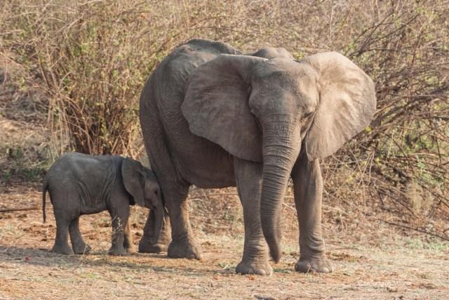 Zambia, elefantino coccole di mamma