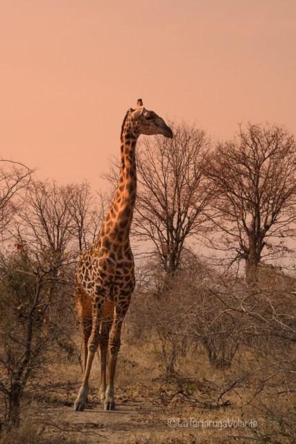 Zambia, giraffa in tutta la sua altezza
