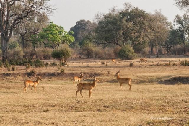 Zambia, impala