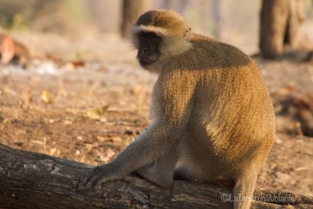 Zambia, scimmia ladra