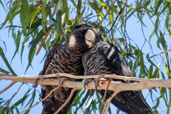 saluto fra pappagalli neri