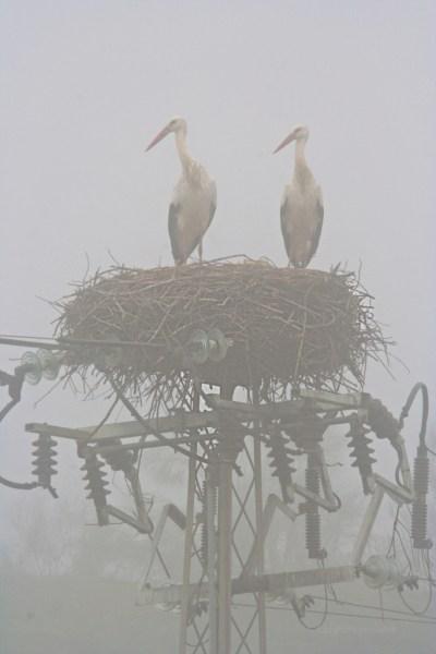 Doñana, coppia di cicogne