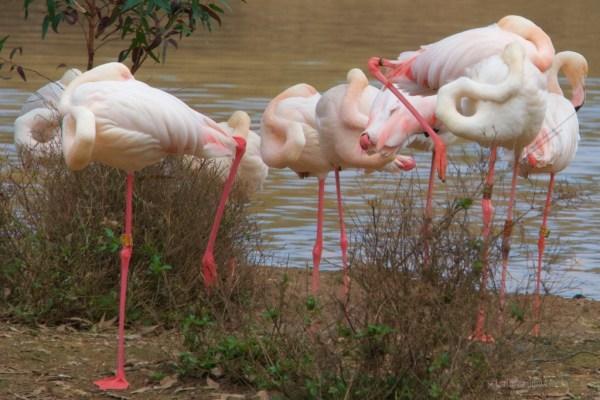 Doñana gruppo di fenicotteri