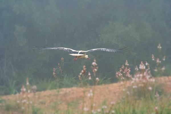 Doñana, cicogna in volo