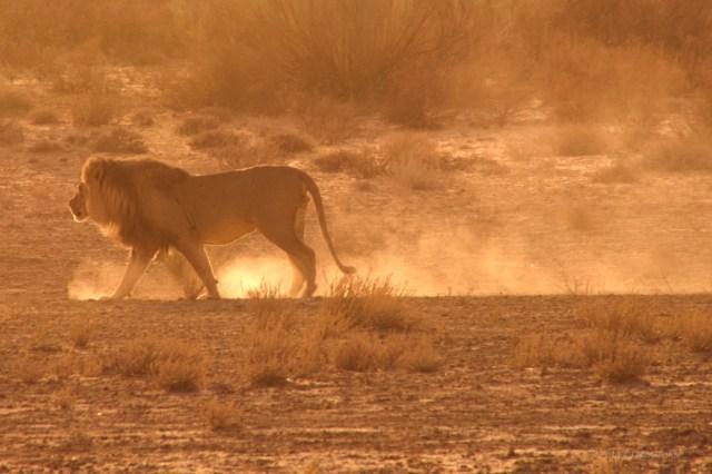 Sudafrica, il leone si allontana