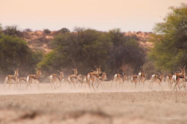 Sudafrica, spingbok in corsa