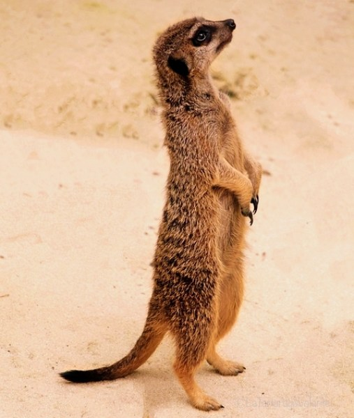 sudafrica, suricate dispettoso