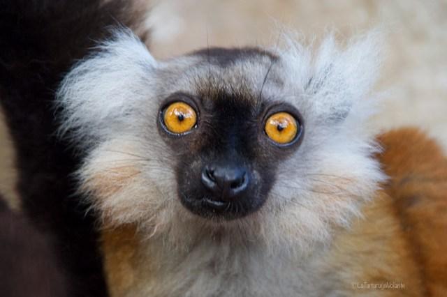 Madagascar, lemure primo piano