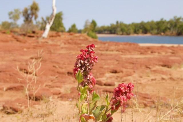 outback australiano, fiore rosso al rocky pool