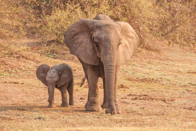 Volontariato, mamma e piccolo di elefante