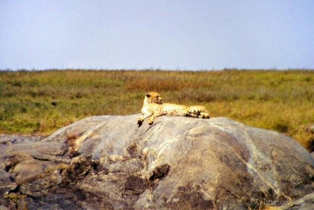 volontariato, ghepardo al sole