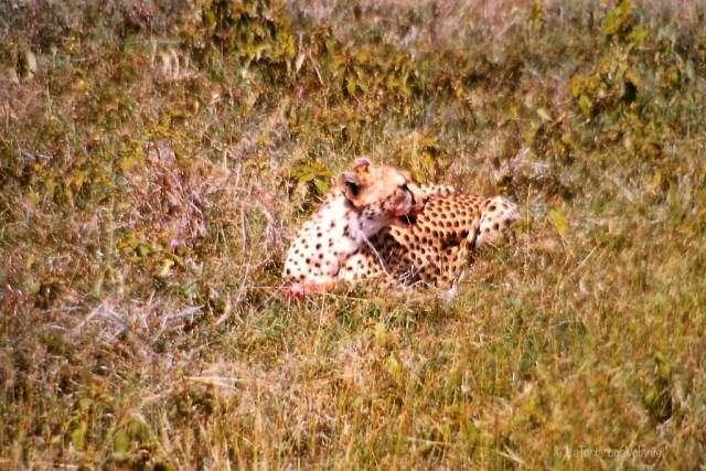 volontariato, ghepardo mimetico