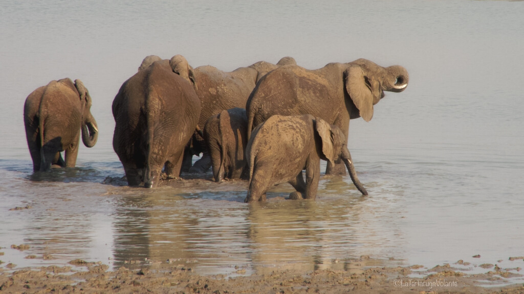 Viaggio in Botswana elefanti in acqua al Chobe