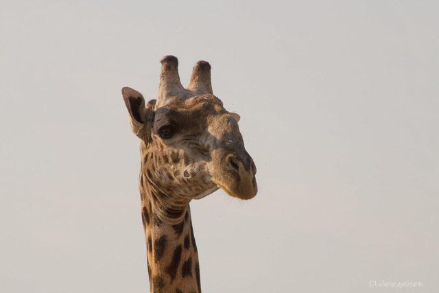 Viaggio in Botswana, giraffa