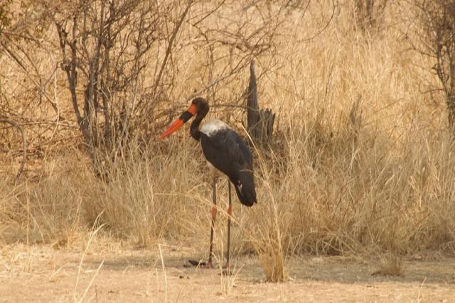 Viaggio in Botswana, uccello rosso e nero