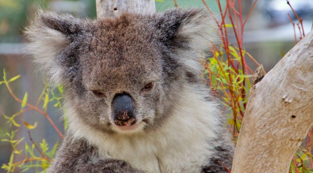 Animali australiani, Koala sveglio