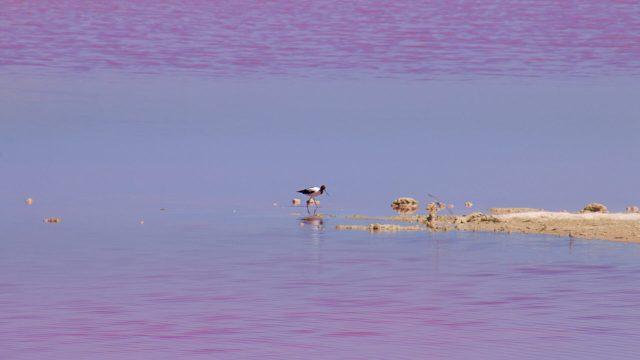 Uccello solitario alla hutt lagoon