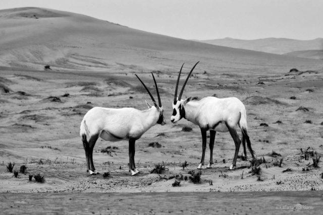 Bianco e Nero, antilopi a Dubai