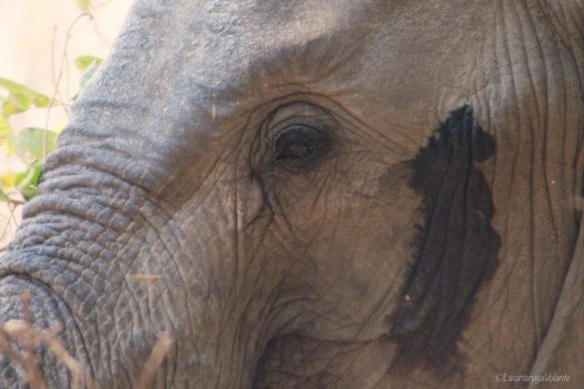 Malawi, primo piano di elefante