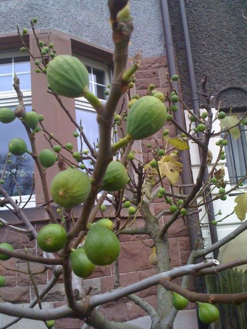 Late Bloomers fig tree in November
