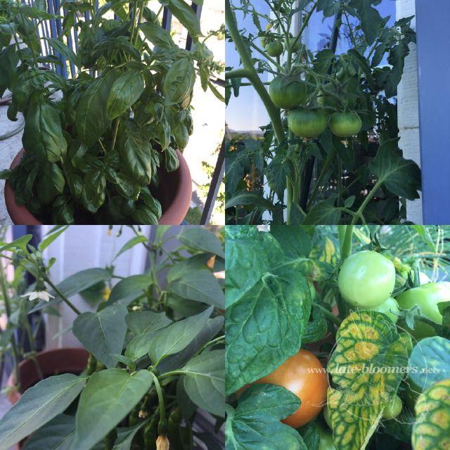 basil peperoncino tomato plants