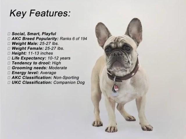 french bulldog temperament - latest dog