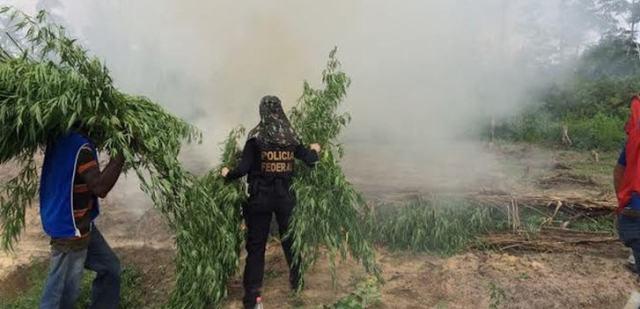 In Brasilien vernichten die Behörden regelmäßig Tonnen von Marihuana