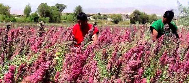 Anbau von Quinoa ist bis in Höhen von 4.000 Metern verhältnismäßig einfach