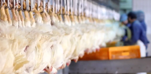 Poultry farms_chicken line
