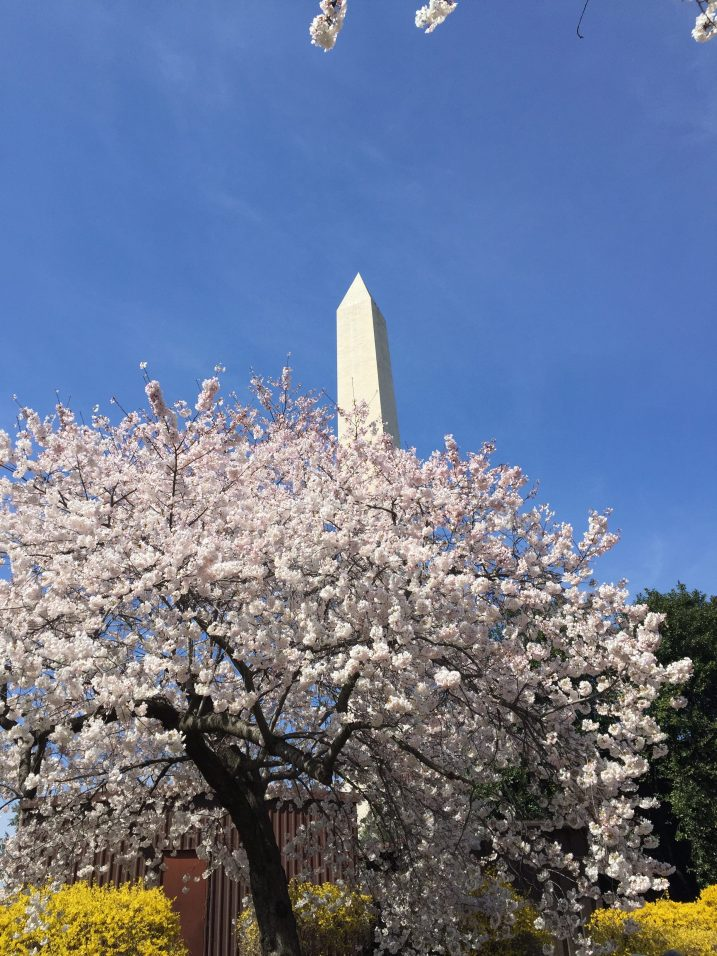 top things to do in washington DC Cherry blossoms